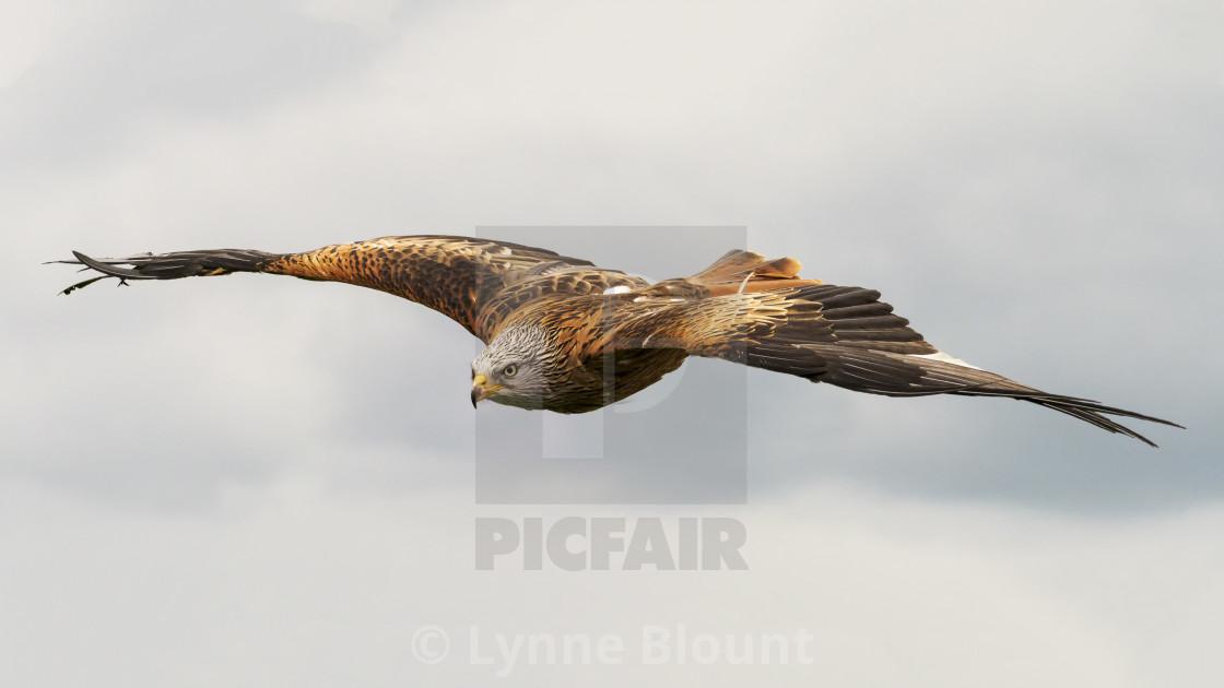 """""""Red Kite in Flight"""" stock image"""