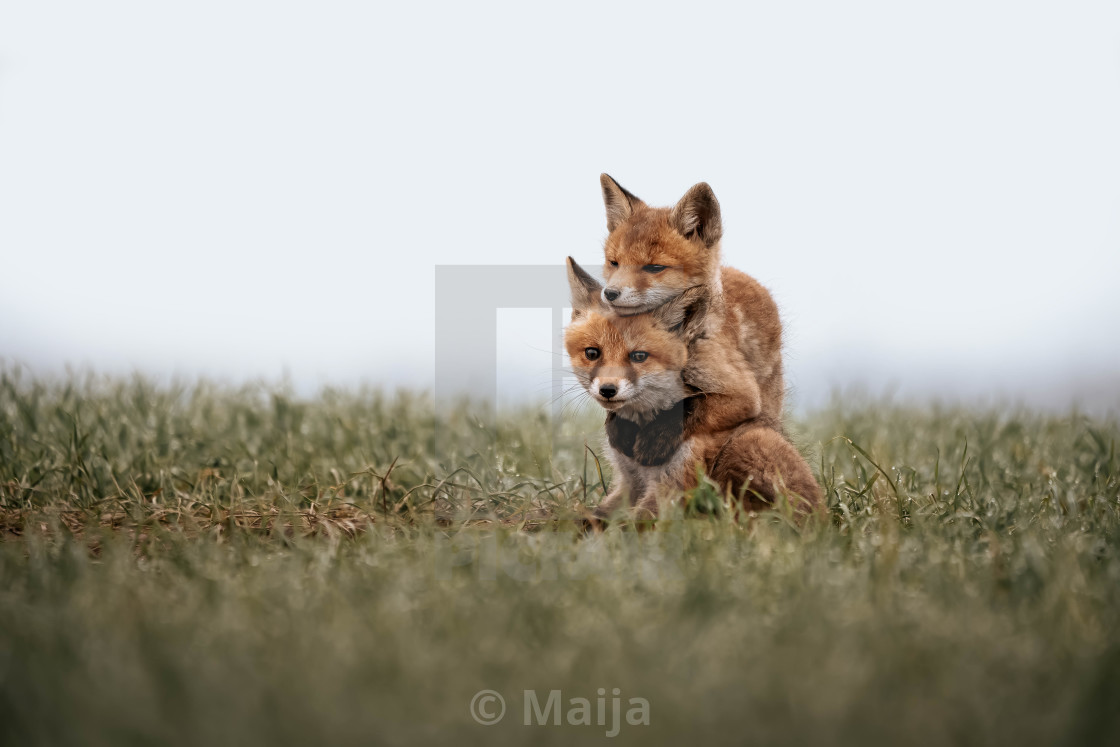 """Fox cubs"" stock image"