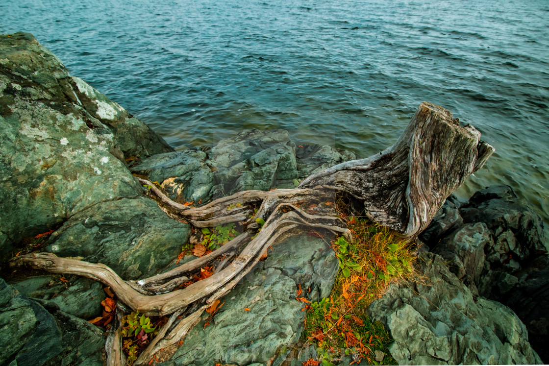 """""""Roots on a rock by the lake"""" stock image"""