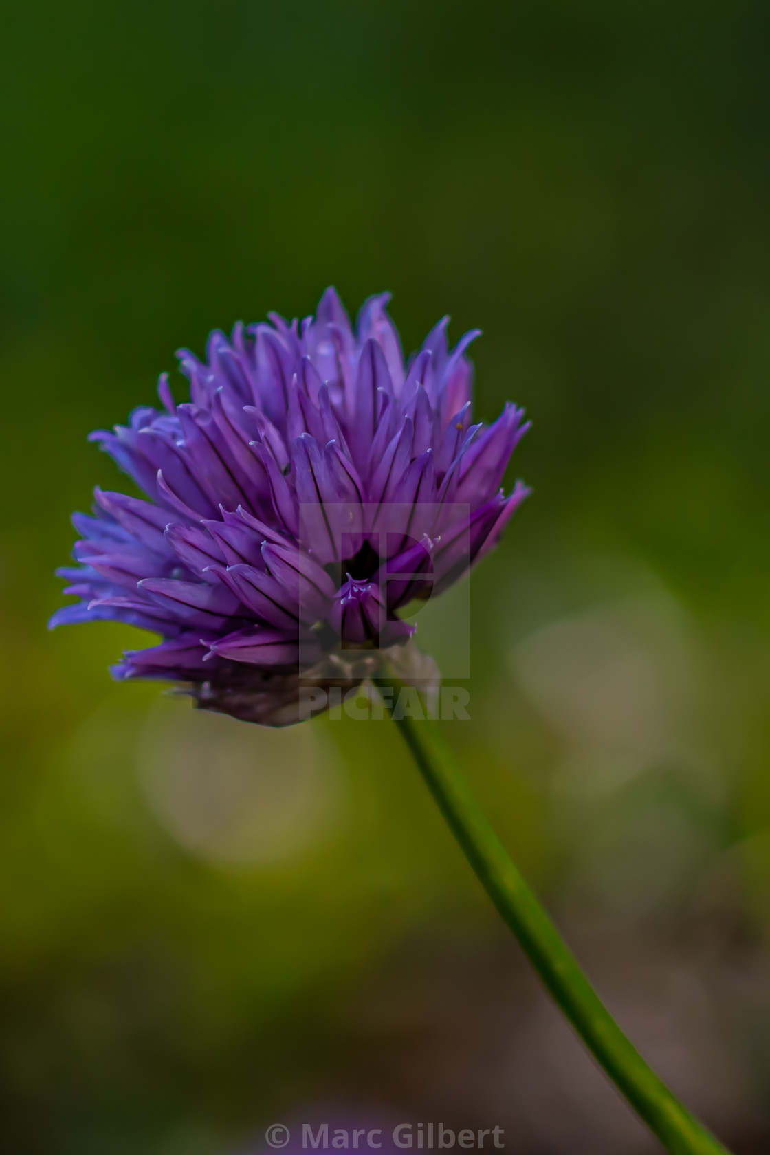 """Purple chive flower"" stock image"