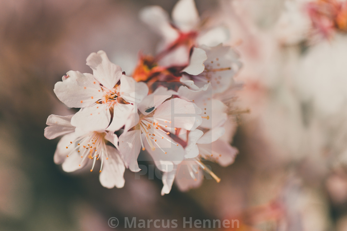 """A single cherry blossom branch"" stock image"
