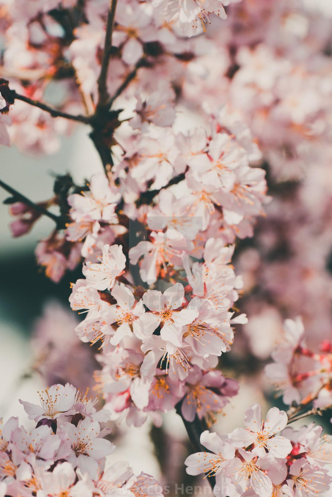 """Cherry blossom branch"" stock image"