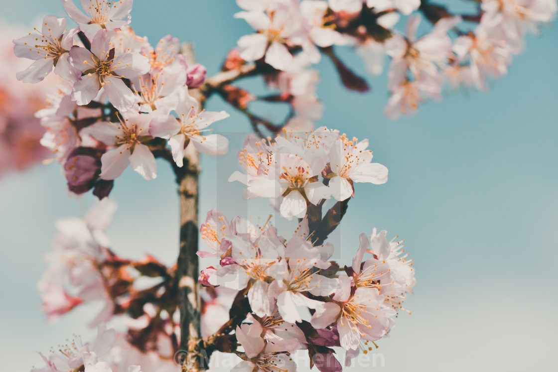 """Cherry blossom and sky"" stock image"