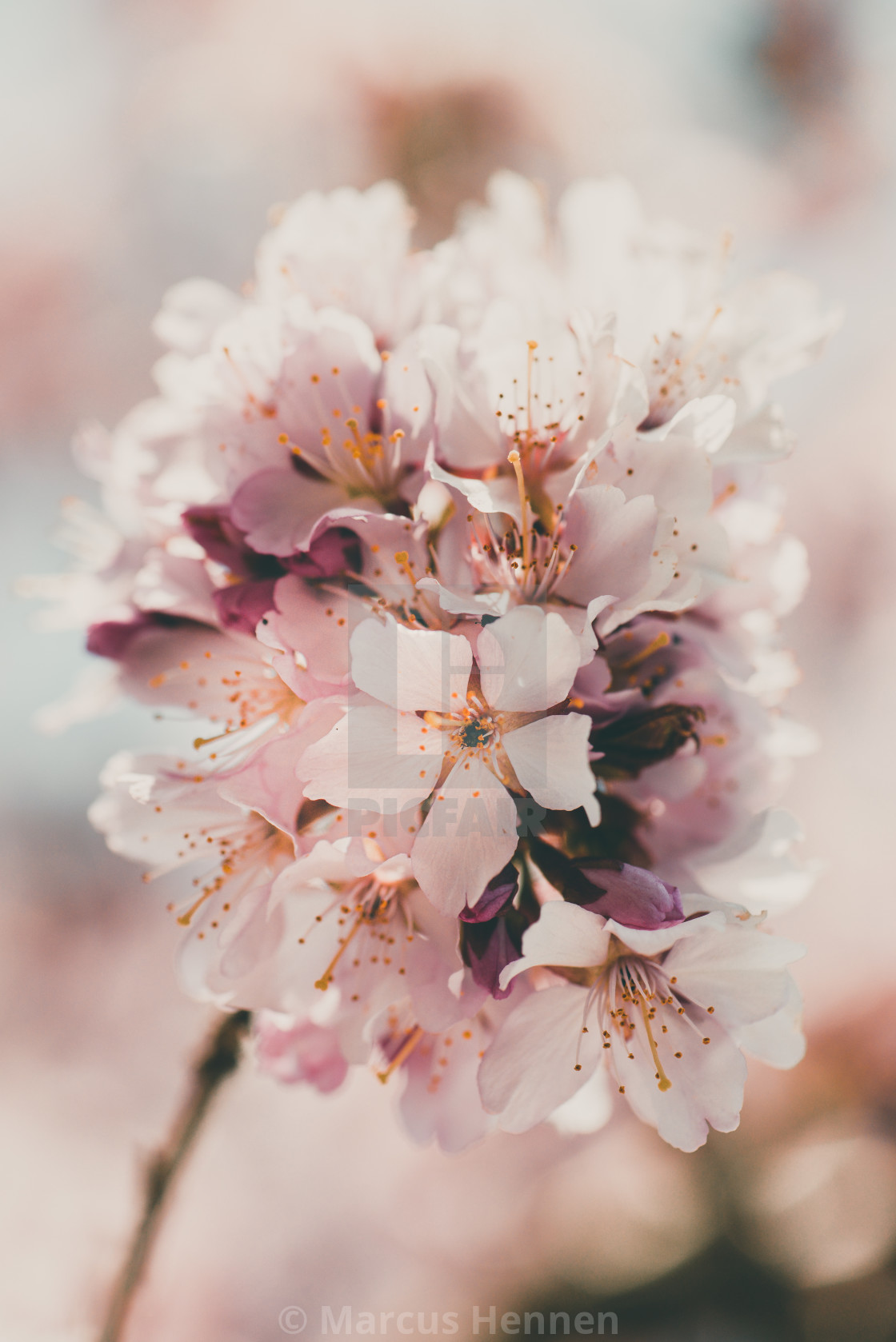 """Single Cherry blossom branch"" stock image"