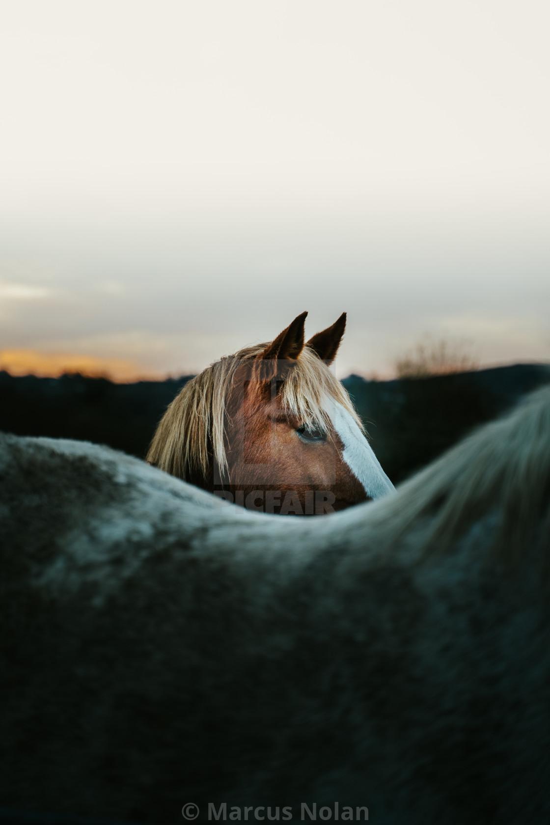 """""""A shy beauty - Horses of Connemara"""" stock image"""
