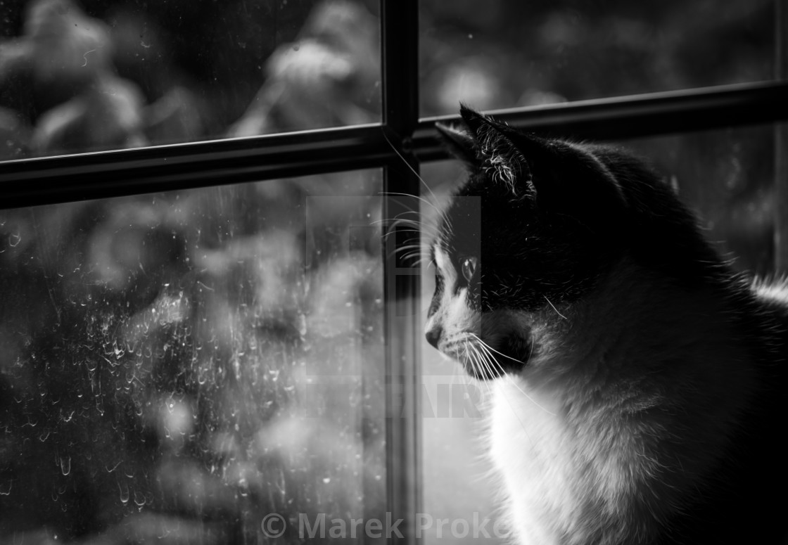 """""""Black and white cat looking out the window"""" stock image"""