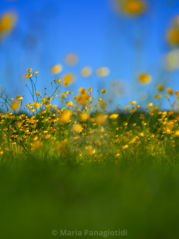 """""""Buttercup field in Sheffield"""" stock image"""
