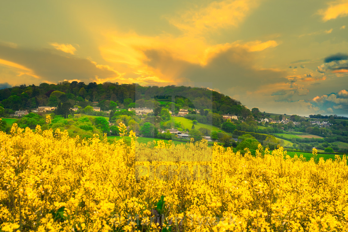 """The rapeseed field at sunset"" stock image"