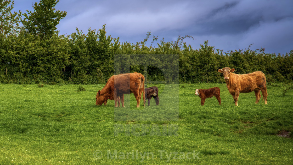 """""""Cows in the field"""" stock image"""