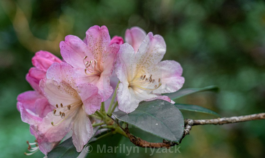 """""""Pink and white rhododendrons"""" stock image"""