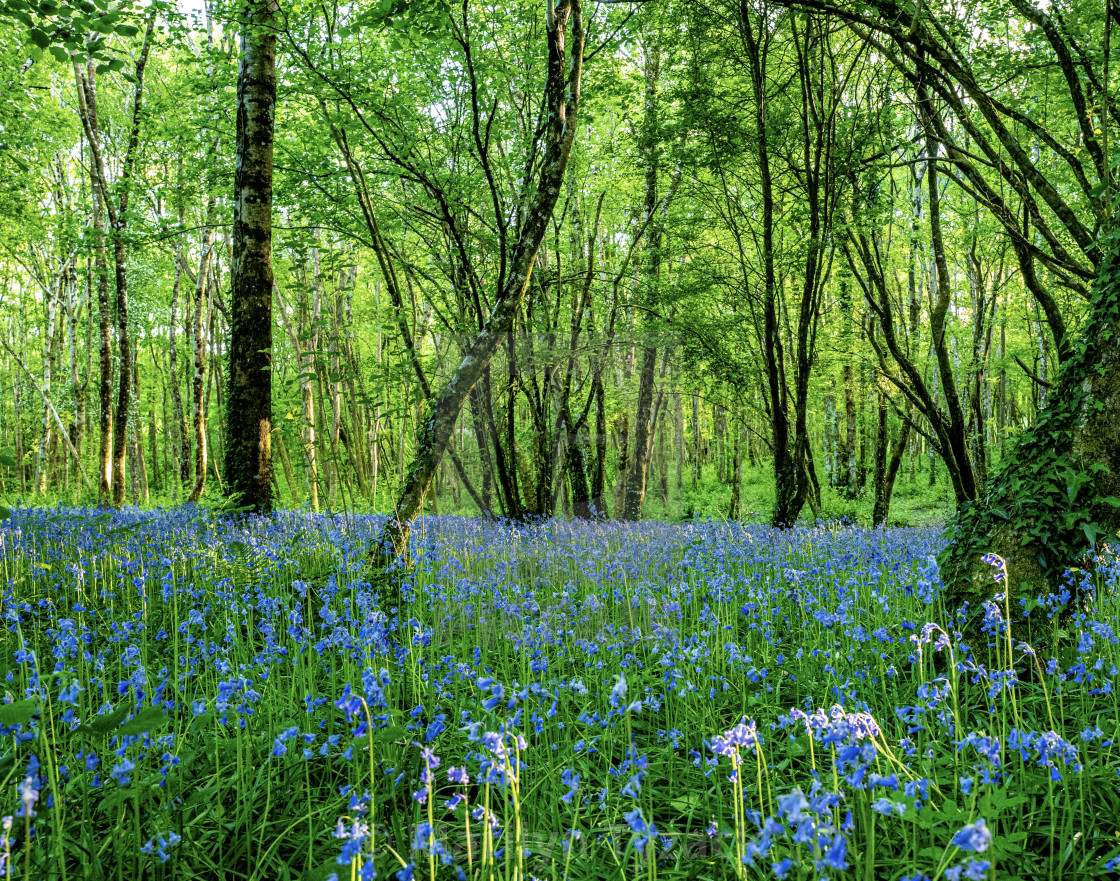 """Lots of Bluebells"" stock image"
