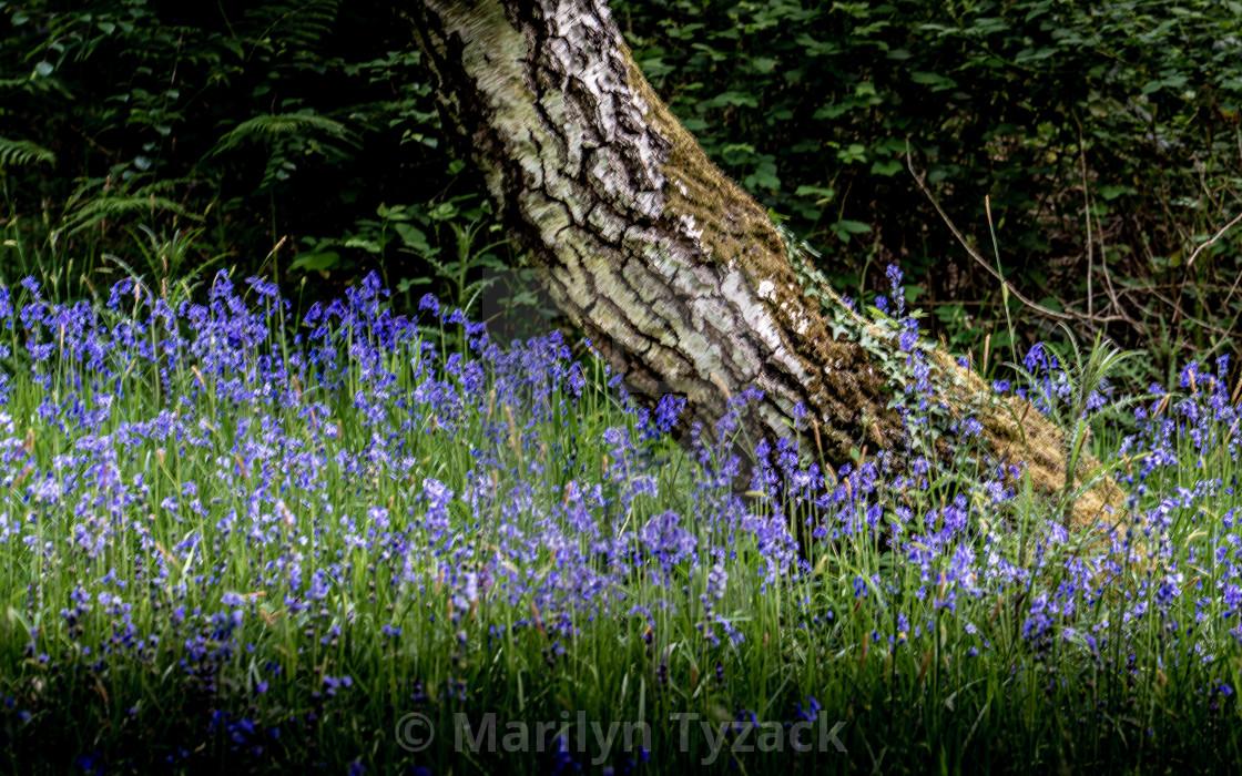 """Bluebells around the tree"" stock image"