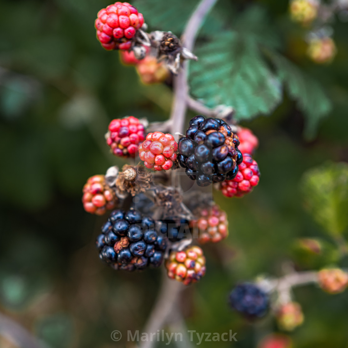 """Blackberries mean Autumn"" stock image"