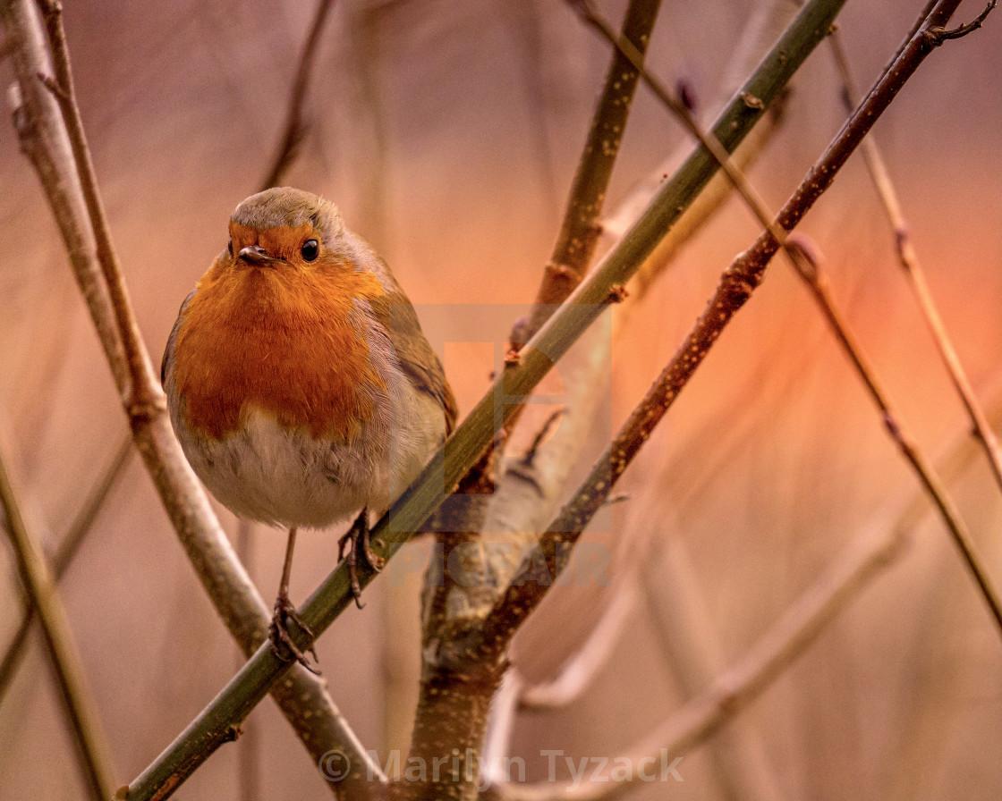 """Robin at sunset"" stock image"