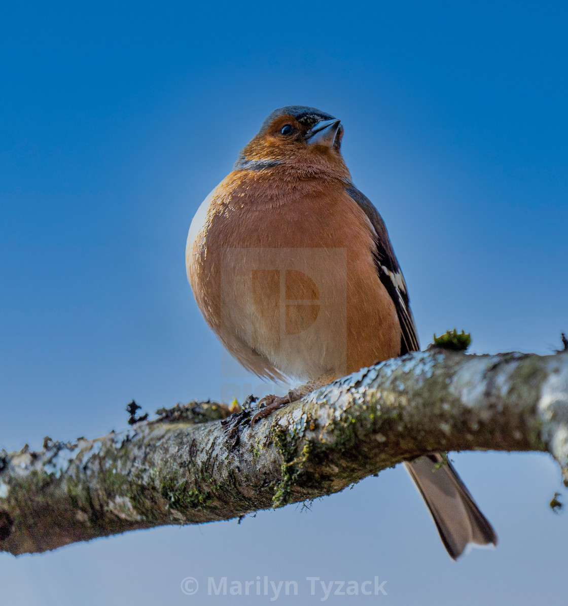 """""""Chaffinch in the Springtime"""" stock image"""