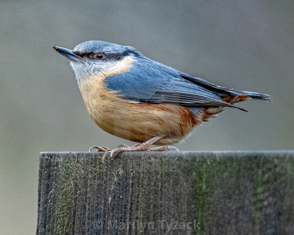 """""""A nuthatch waiting for breakfast"""" stock image"""