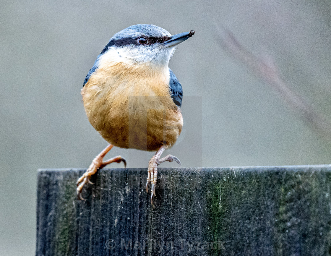 """""""Cheeky nuthatch"""" stock image"""