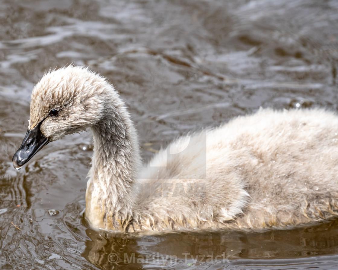 """Black swan cygnet"" stock image"