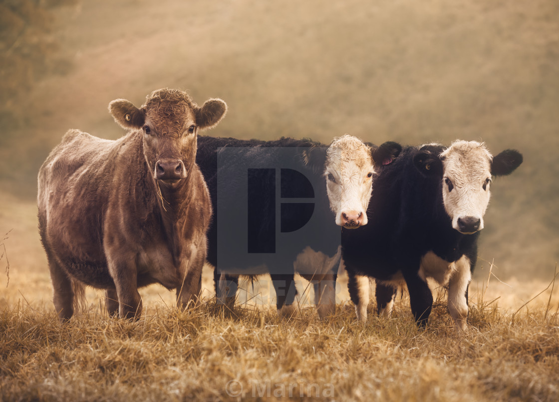 """Curious Cows"" stock image"