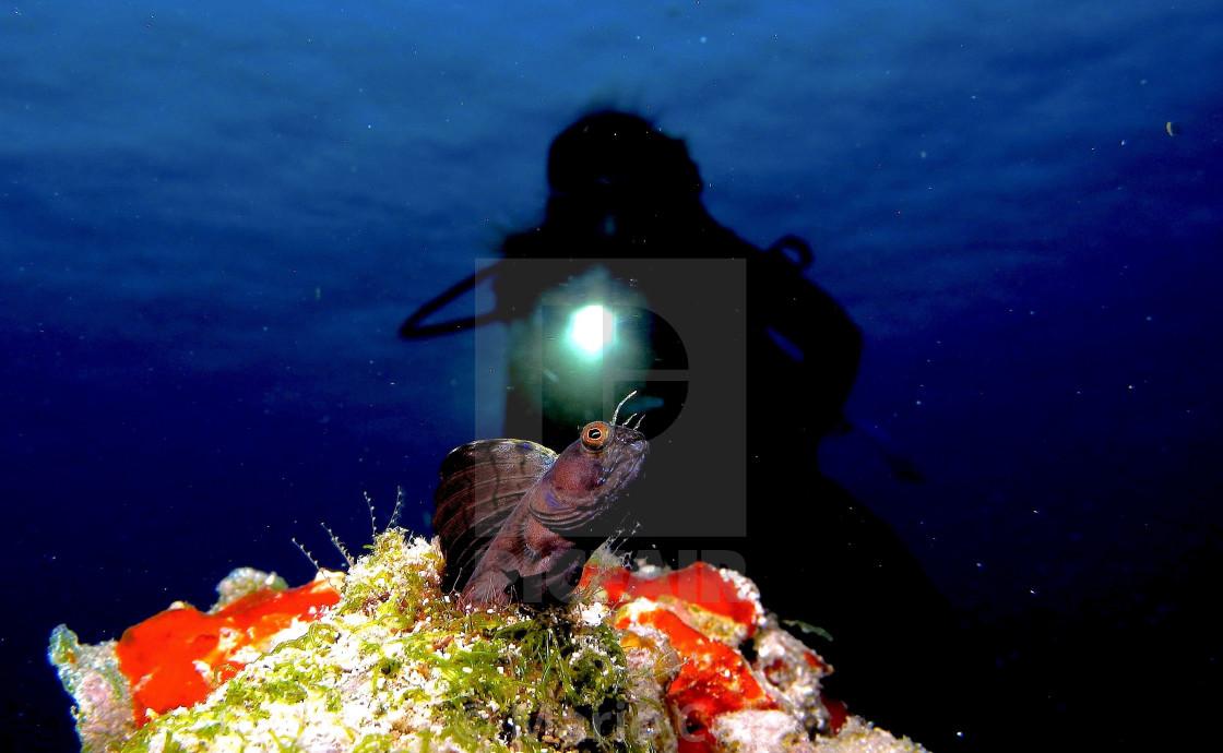 """""""Black sail blenny fish."""" stock image"""