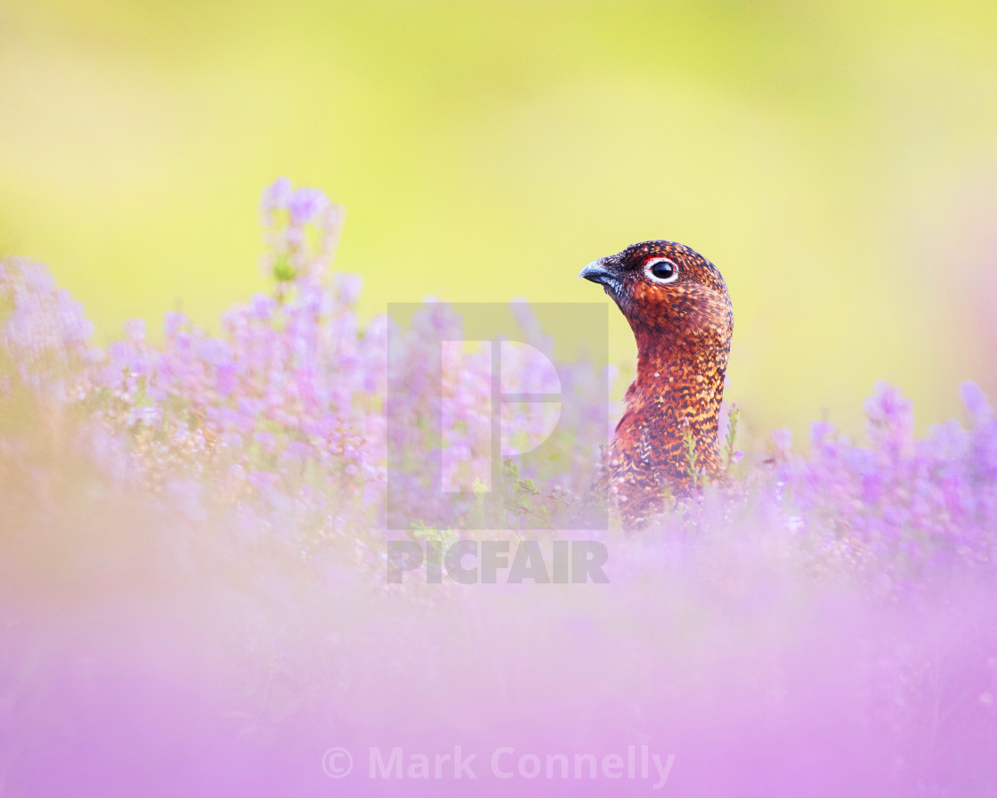"""""""Red Grouse in Heather"""" stock image"""