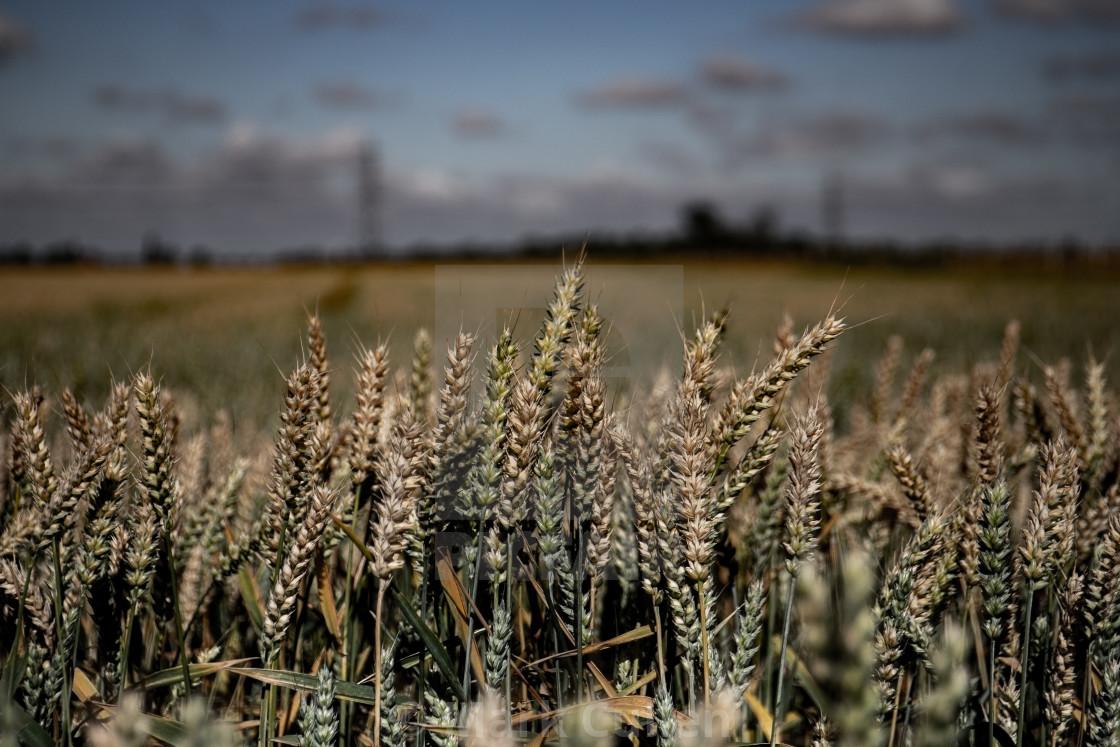 """Wheat"" stock image"