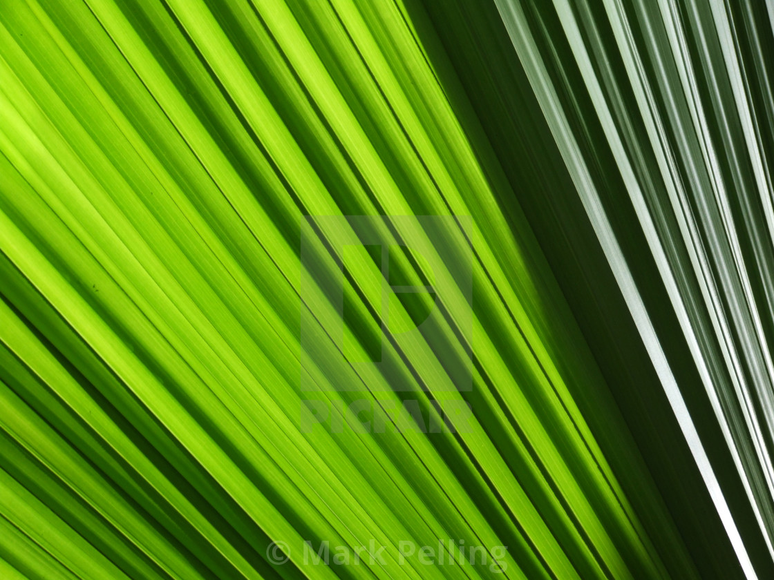 """Close-up of palm leaf"" stock image"