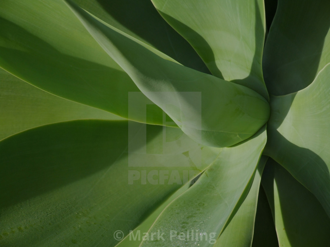 """""""Close-up of an Agave plant"""" stock image"""