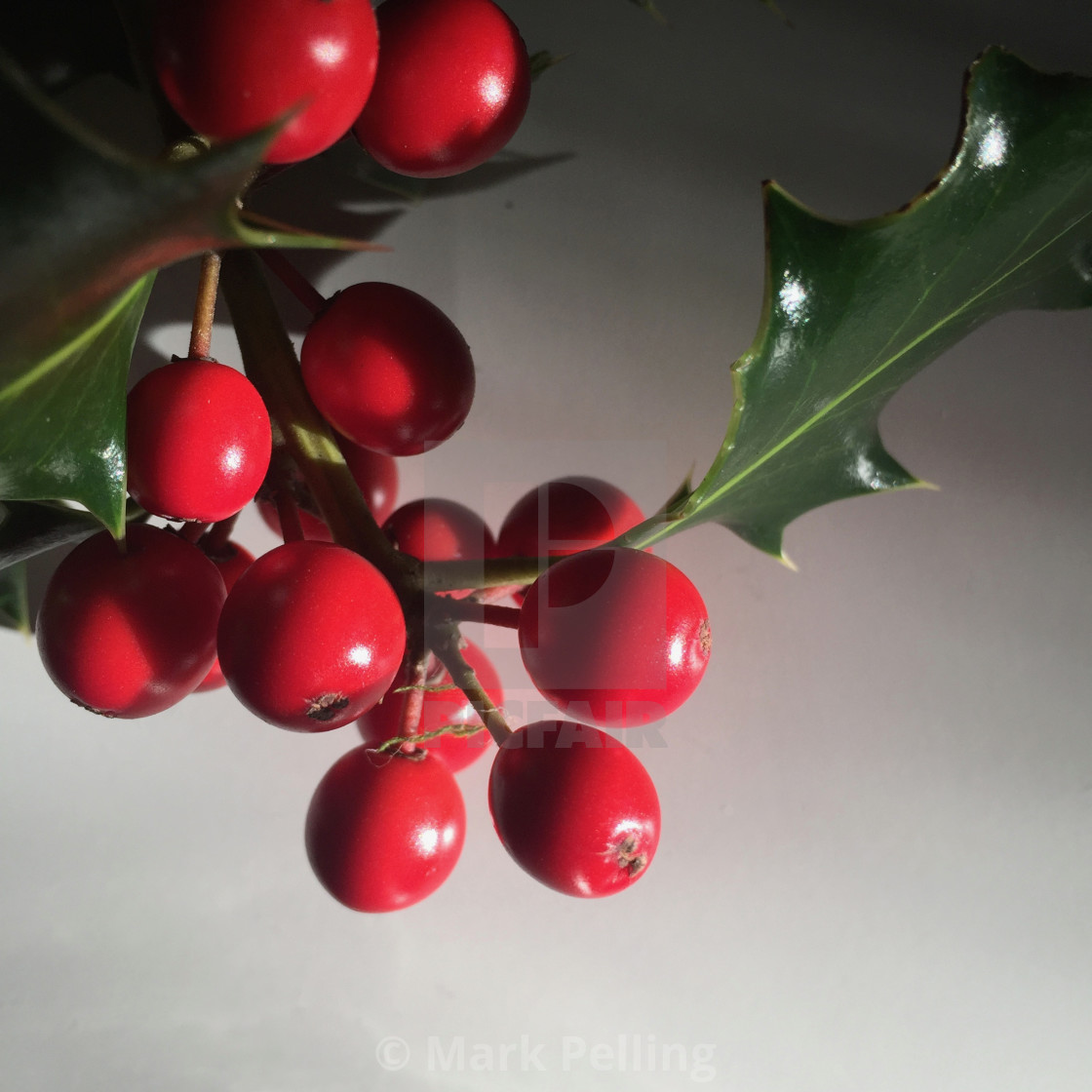 """Holly with red berries against a neutral background"" stock image"