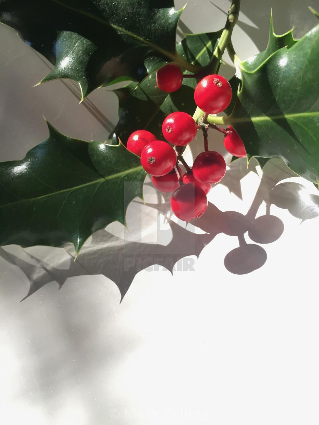 """Holly with red berries against a white background"" stock image"