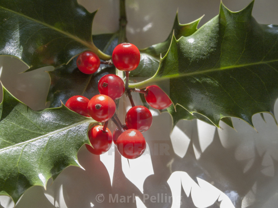 """Holly with berries against neutral background"" stock image"