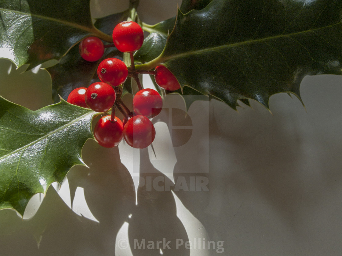 """""""Holly with berries against neutral background"""" stock image"""