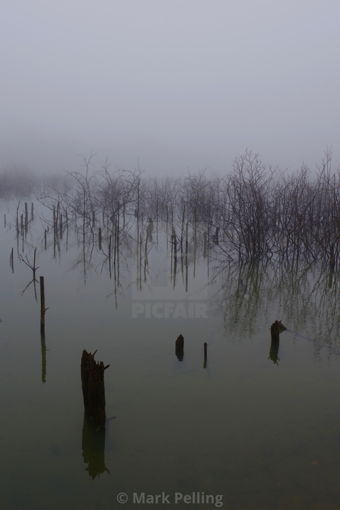 """Saplings and stumps reflected on a foggy day"" stock image"