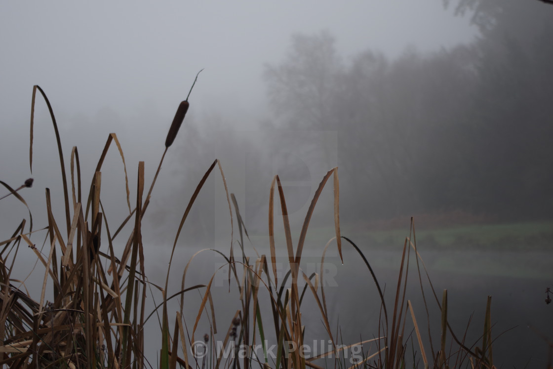 """Bulrushes on a foggy day"" stock image"