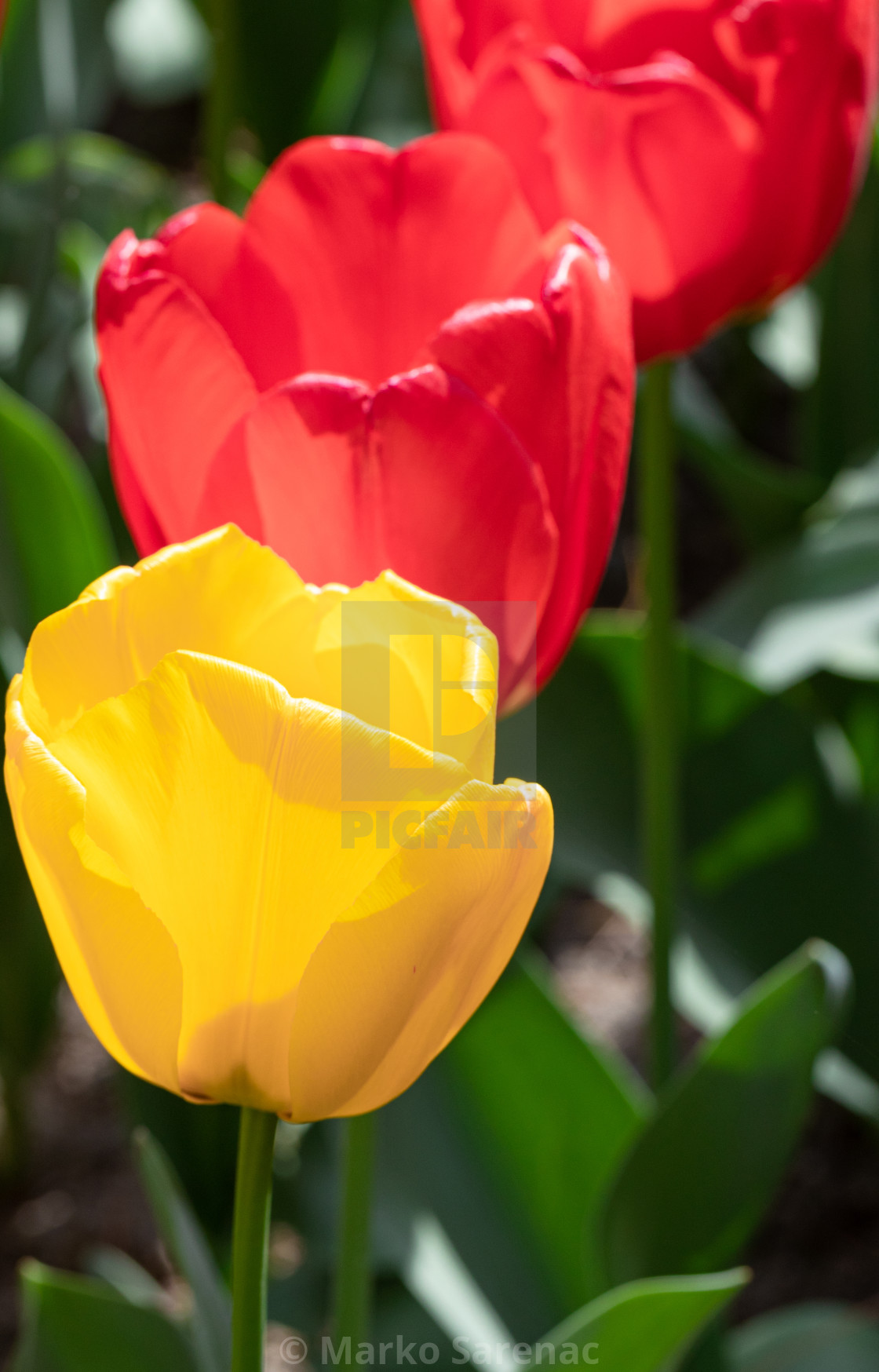 """""""Red Yellow. Tulips. Flowers. Nature. Garden. Flora"""" stock image"""