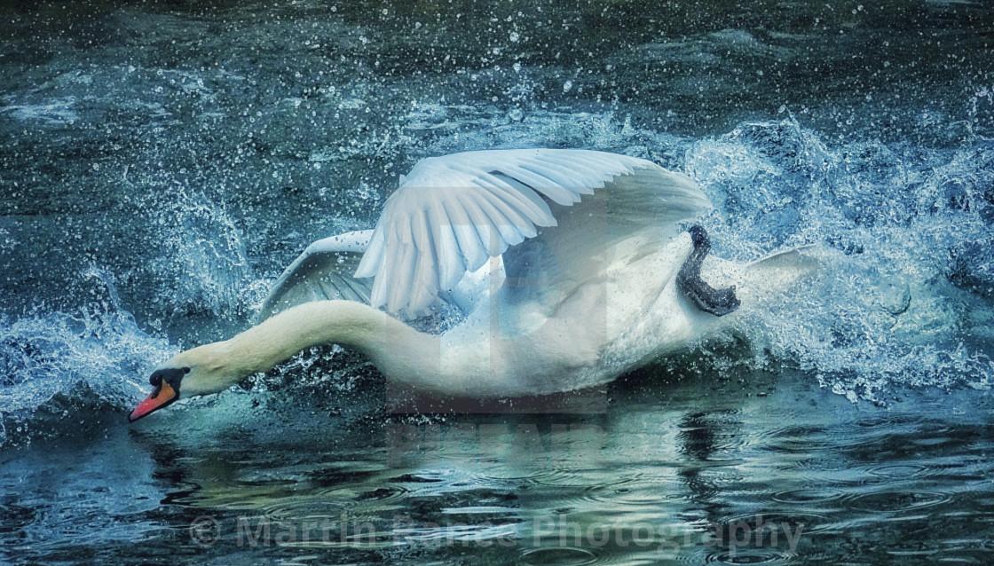 """Angry swan"" stock image"