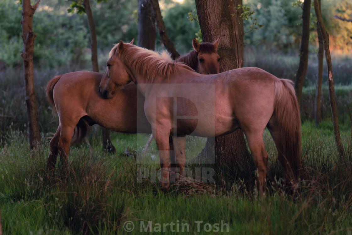 """""""Two ponies in mutual grooming position in woodland ii"""" stock image"""
