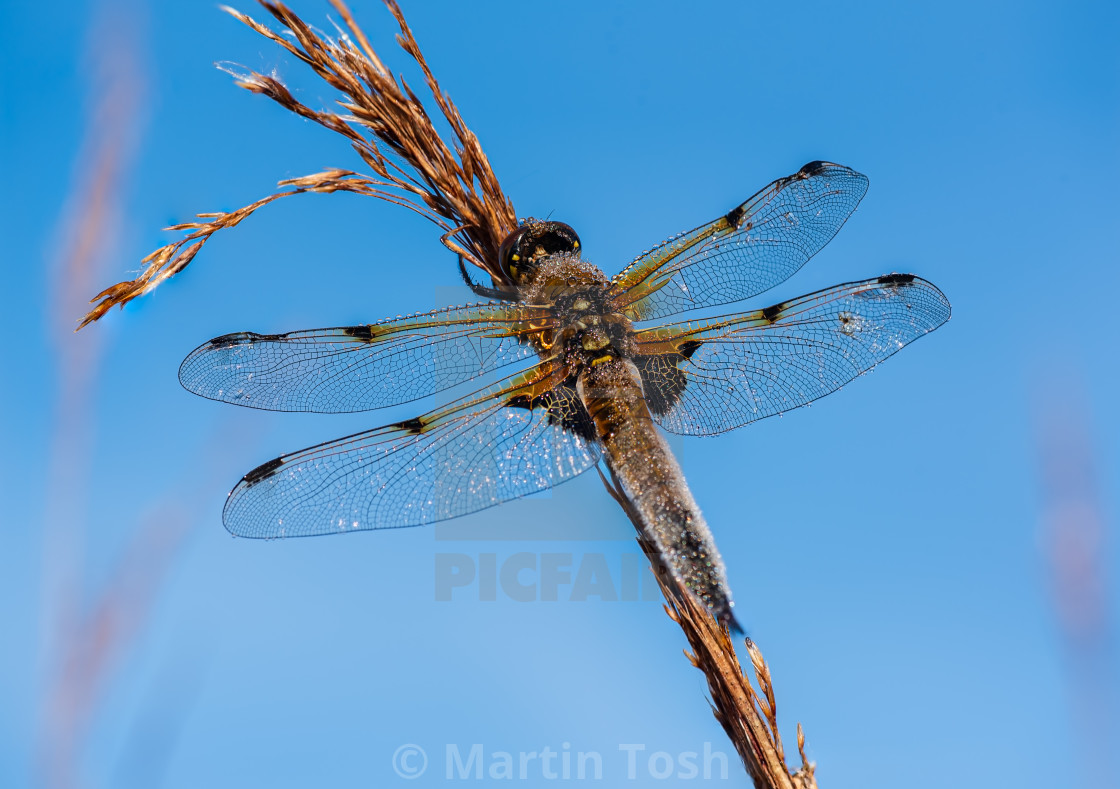 """Libellula quadrimaculata - Dew covered Four Spotted Chaser drago"" stock image"