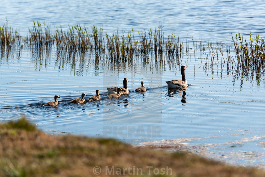 """Anser anser - Greylag geese family on water i"" stock image"