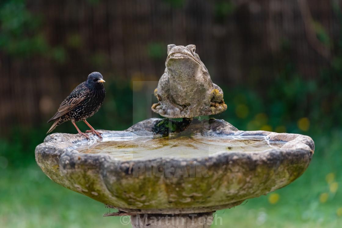 """Starling on birdbath i"" stock image"