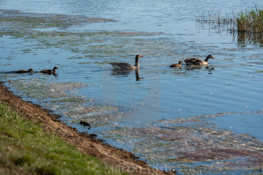 """Anser anser - Greylag geese family on water iv"" stock image"