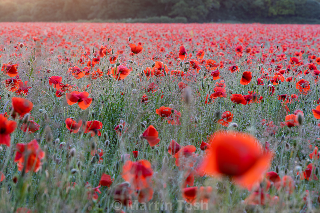 """Backlit Norfolk poppy field"" stock image"