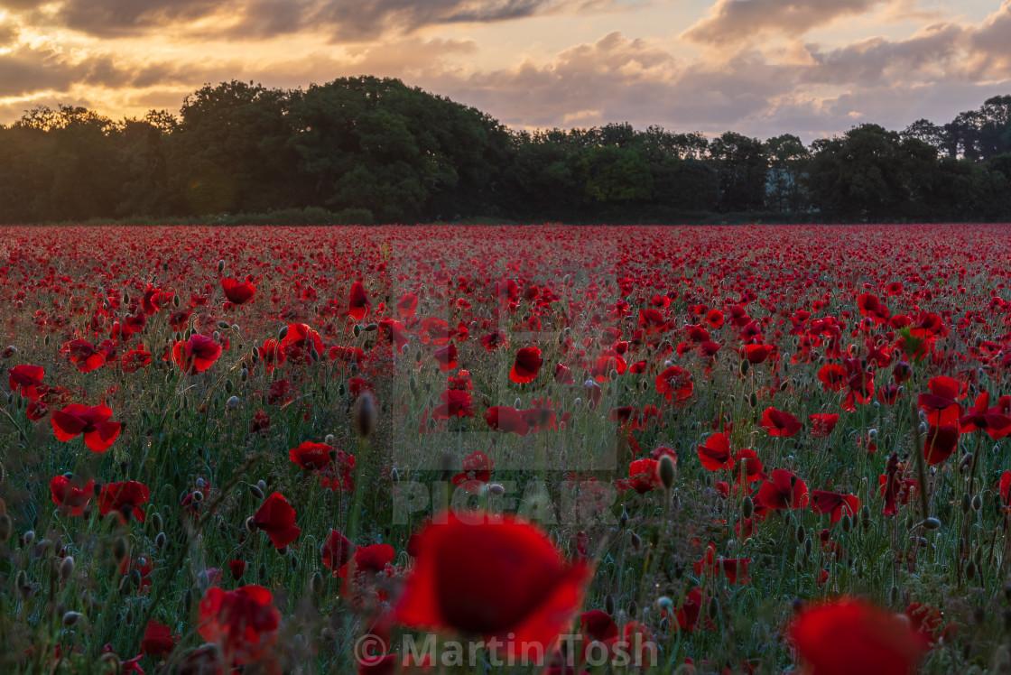 """Backlit moody sunrise over Norfolk poppy field ii"" stock image"