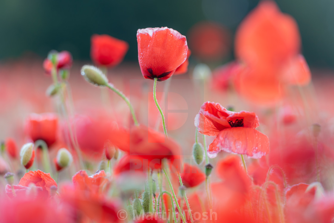 """Soft poppy study in Norfolk poppy field i"" stock image"