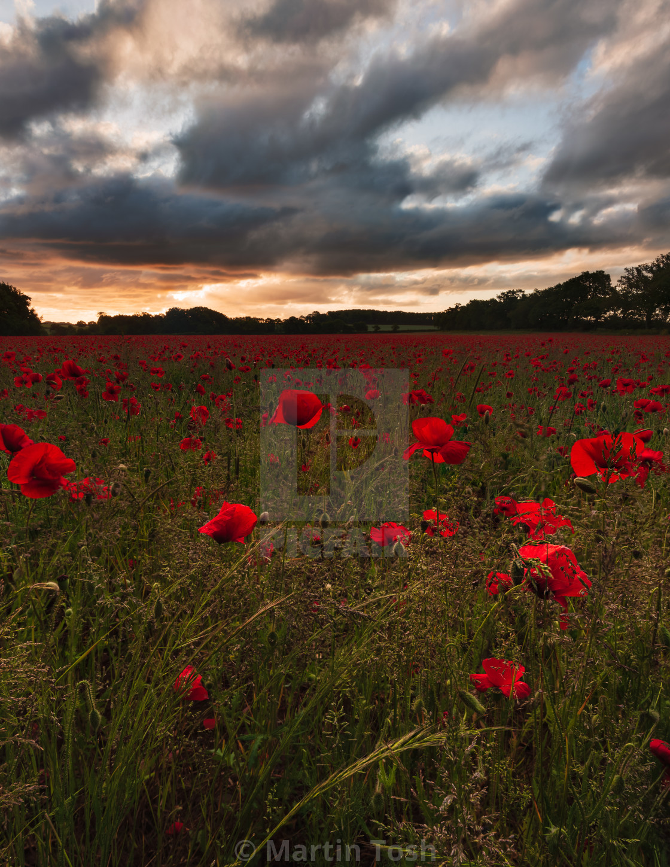 """""""Backlit moody sunrise over Norfolk poppy field v"""" stock image"""