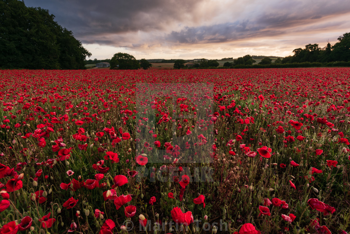 """""""Moody sky over Norfolk poppy field with farm in the distance i"""" stock image"""