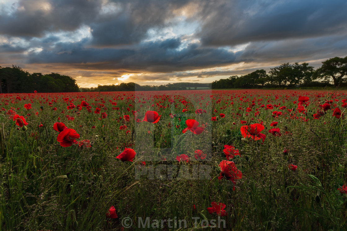"""Backlit moody sunrise over Norfolk poppy field iv"" stock image"