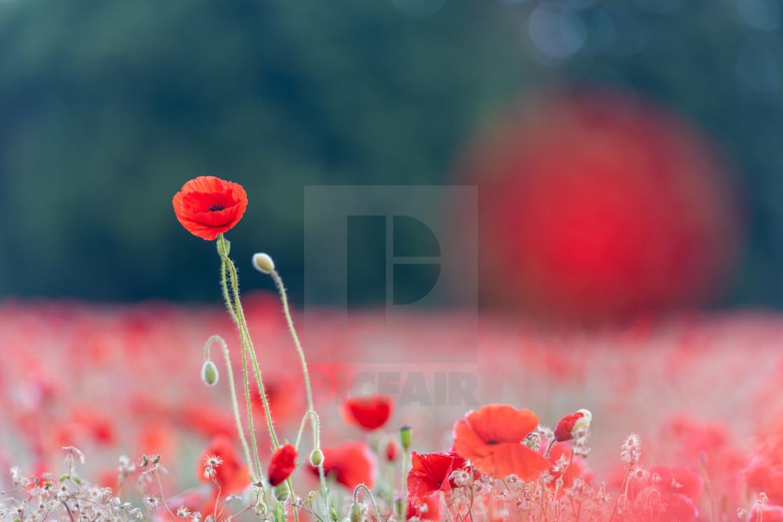 """Soft poppy study in Norfolk poppy field iii"" stock image"