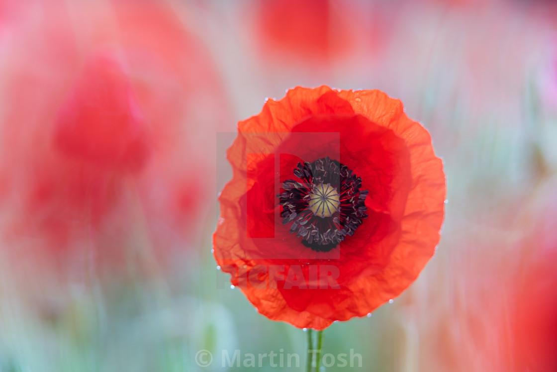 """""""Soft poppy study in Norfolk poppy field v"""" stock image"""