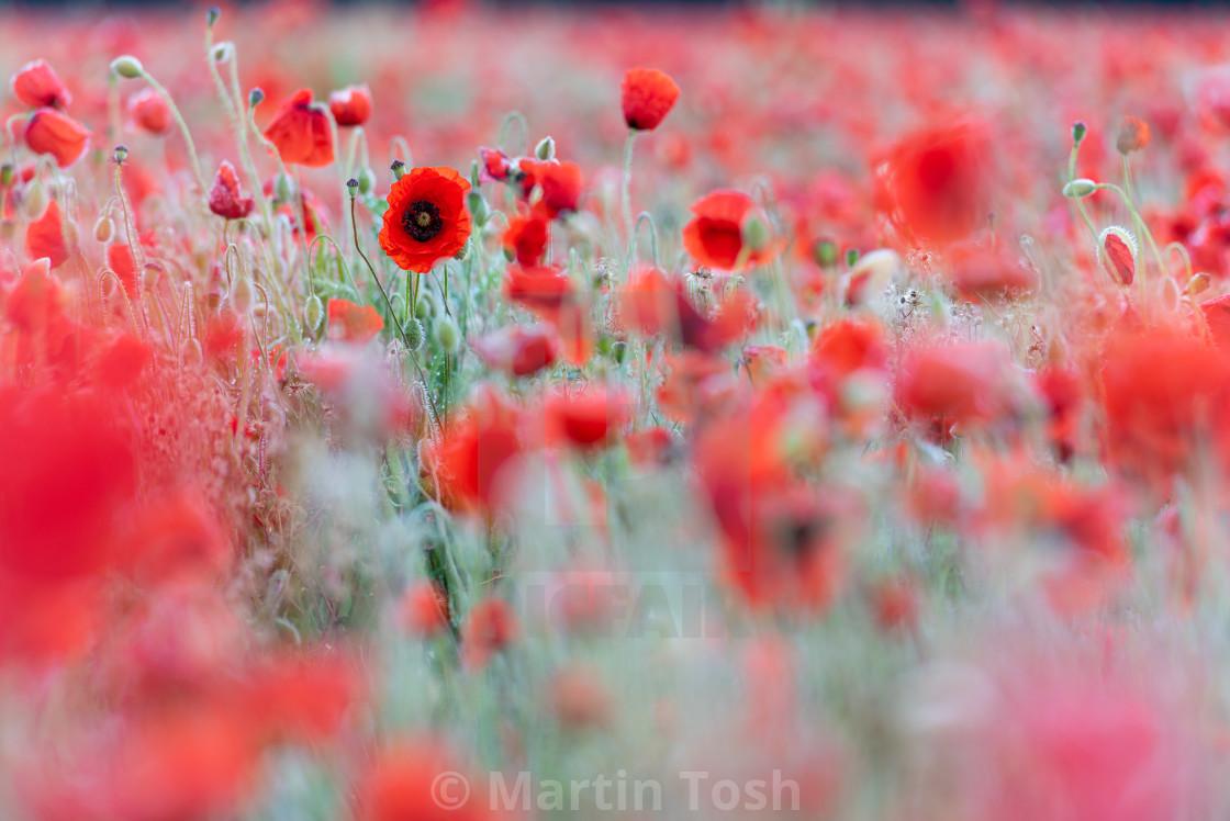 """""""Soft poppy study in Norfolk poppy field iv"""" stock image"""